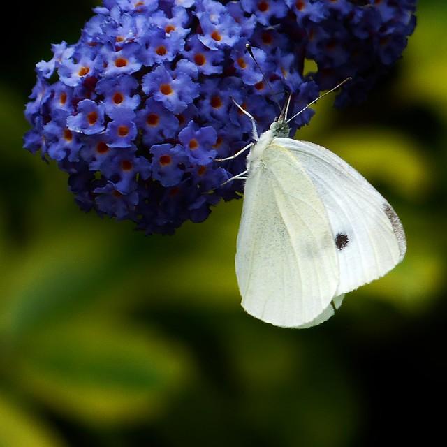 In mijn vlinderstruik - Koolwitje