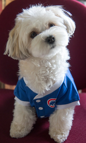Pip loves her Cubbies!
