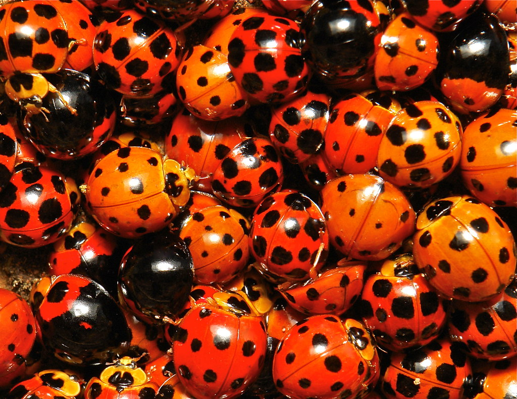 Ladybird Swarm