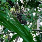 Bushbaby aka Zanzibar Galago