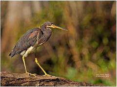 Aigrette tricolore - Tricolored Heron- Hillsborough River,Thonotosassa, FL - 1DM4-2987