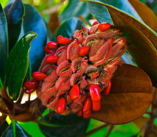 Magnolia Seed Pods resemble exotic-looking cones & spread open to reveal bright red berries.