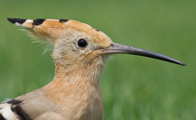 Hoopoe close up 3 300mm - Costa Teguise