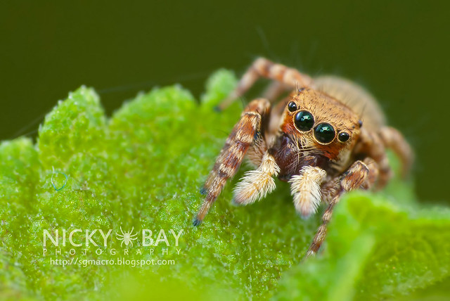 Jumping Spider (Salticidae) - DSC_1911