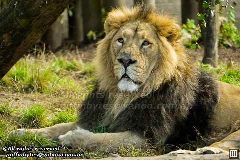 Panthera leo persica - photo#22