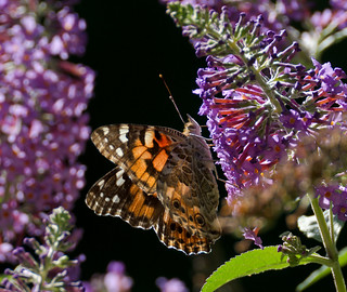"""butterfly """"Painted Lady"""""""