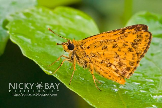 Bushhopper (Hesperiinae) - DSC_5290