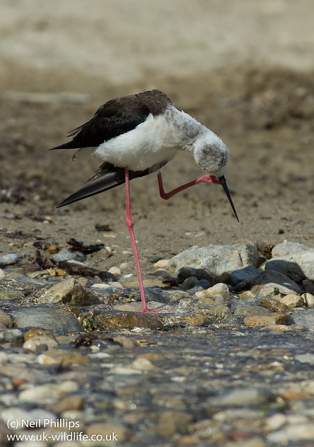 black winged stilt grooming