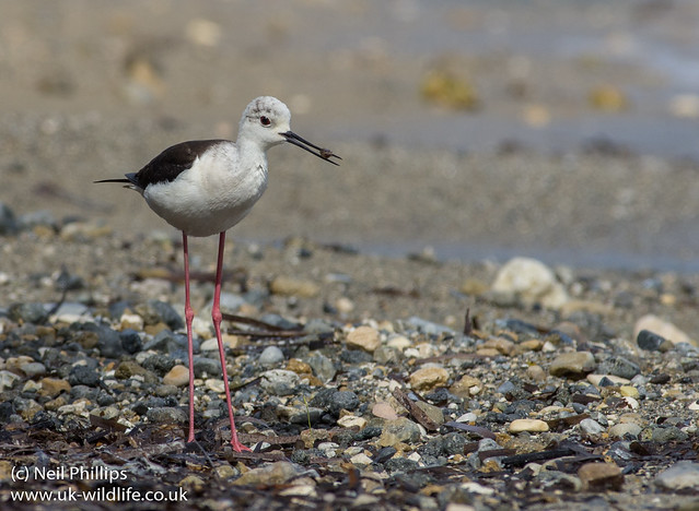 black winged stilt with isopod prey 2