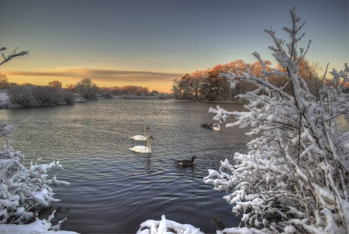 snow swans by jambori39 via I {heart} Rhody