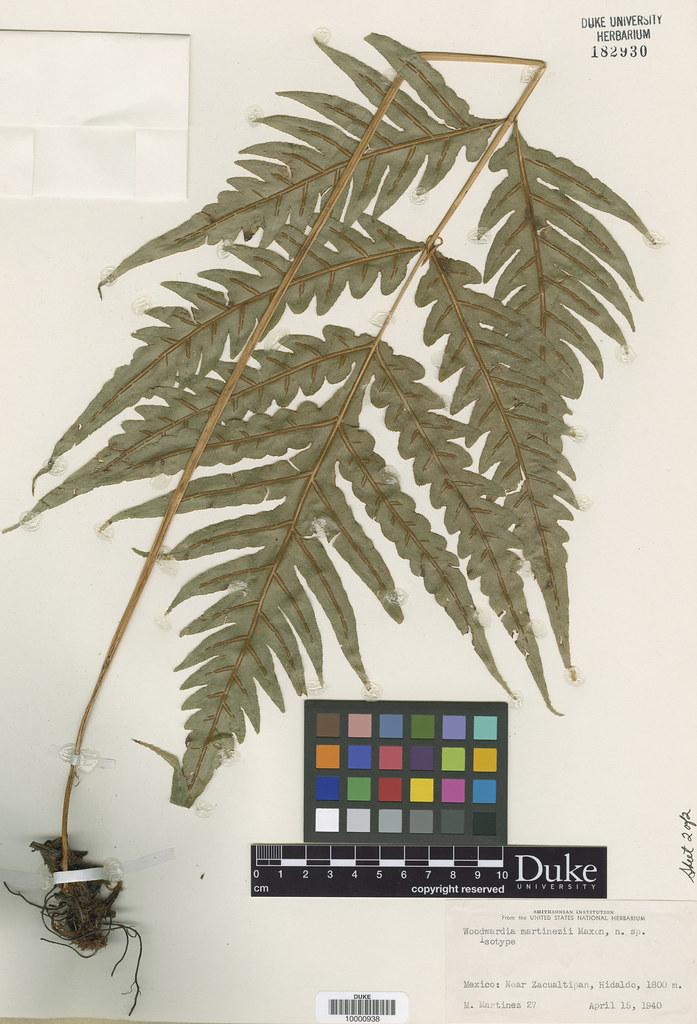 Blechnaceae_Woodwardia martinezii2