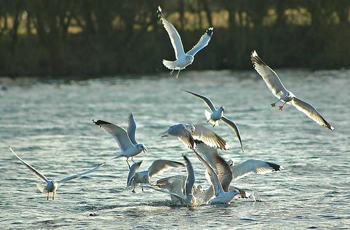 Gulls by birbee