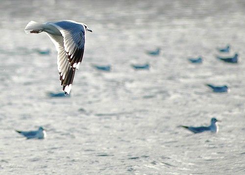 Gull 2 by birbee