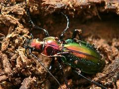 Splendid Ground Beetle (Chrysocarabus splendens) found in deadwood