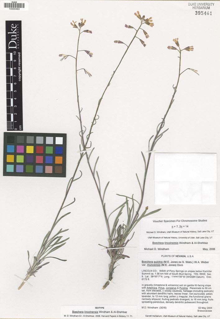 Brassicaceae_Boechera lincolnensis