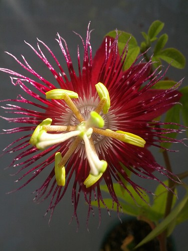 Passiflora 'Lady Margaret' by Jane Young