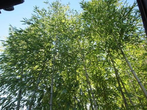 Hakone Japanese Gardens, Saratoga, CA, bamboo IMG_2329