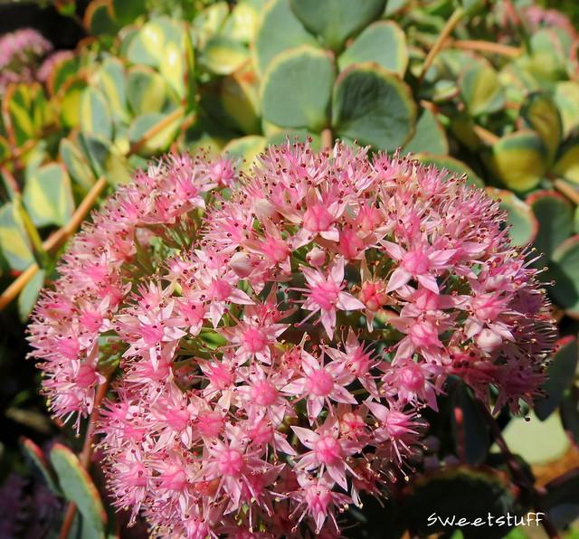 Sedum sieboldii blooms