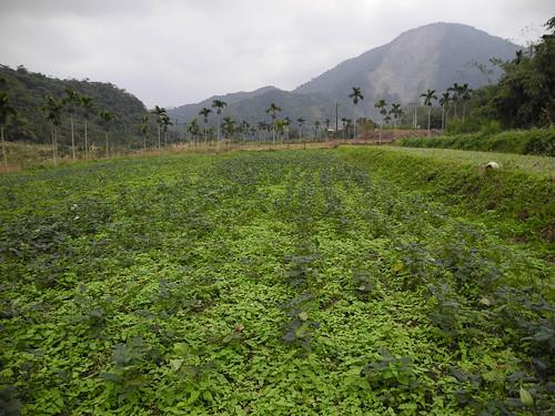 奇美部落的紅豆田,族人以手工除草的成績,讓紅豆優於野草,連專家都肯定。