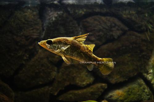 Nile Perch In Aquarium