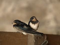 animal, perching bird, fauna, close-up, swallow, emberizidae, beak, bird,