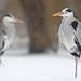 Grey Herons in the Snow by Daniel Trim