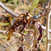 Small photo of Asilus crabroniformis. Asilidae