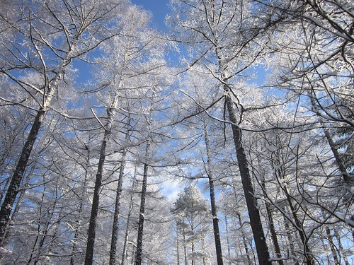雪化粧した庭の唐松 2013年1月27日9:12 by Poran111