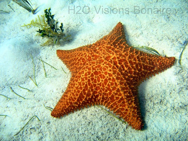 Cushion Starfish-003