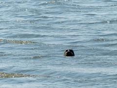 Harbor Seal notices us