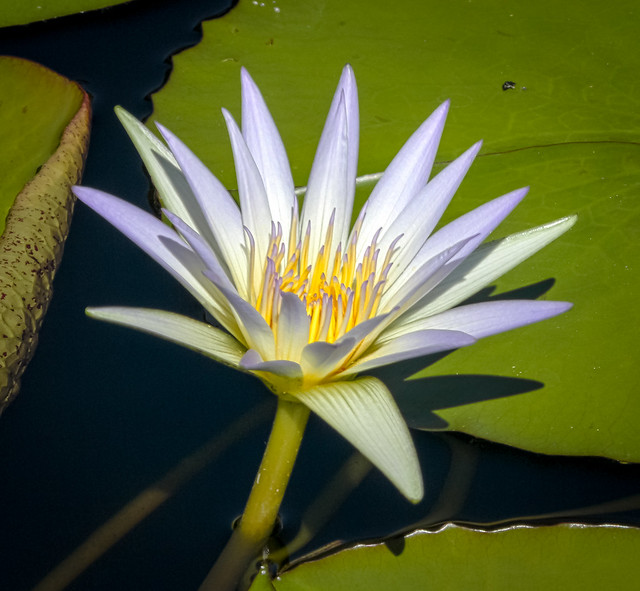 HDR Waterlily