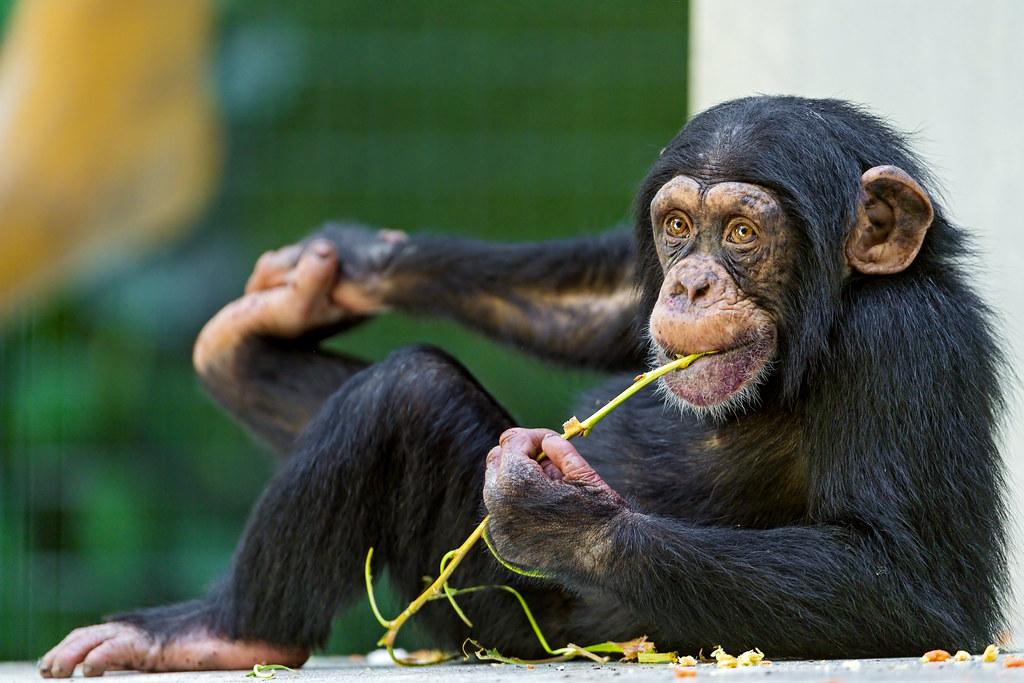 草を食べるチンパンジー