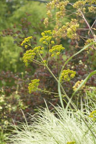 ferula blooms