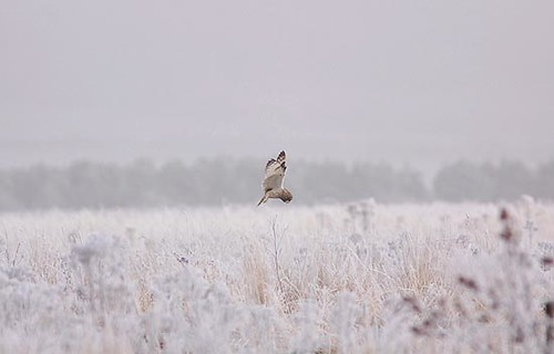Short Eared Owl hunting by Paul Miguel