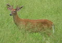 Odocoileus virginianus (white-tailed deer) (Newark, Ohio, USA) 10