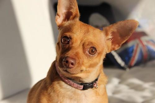 Chihuahua crosses