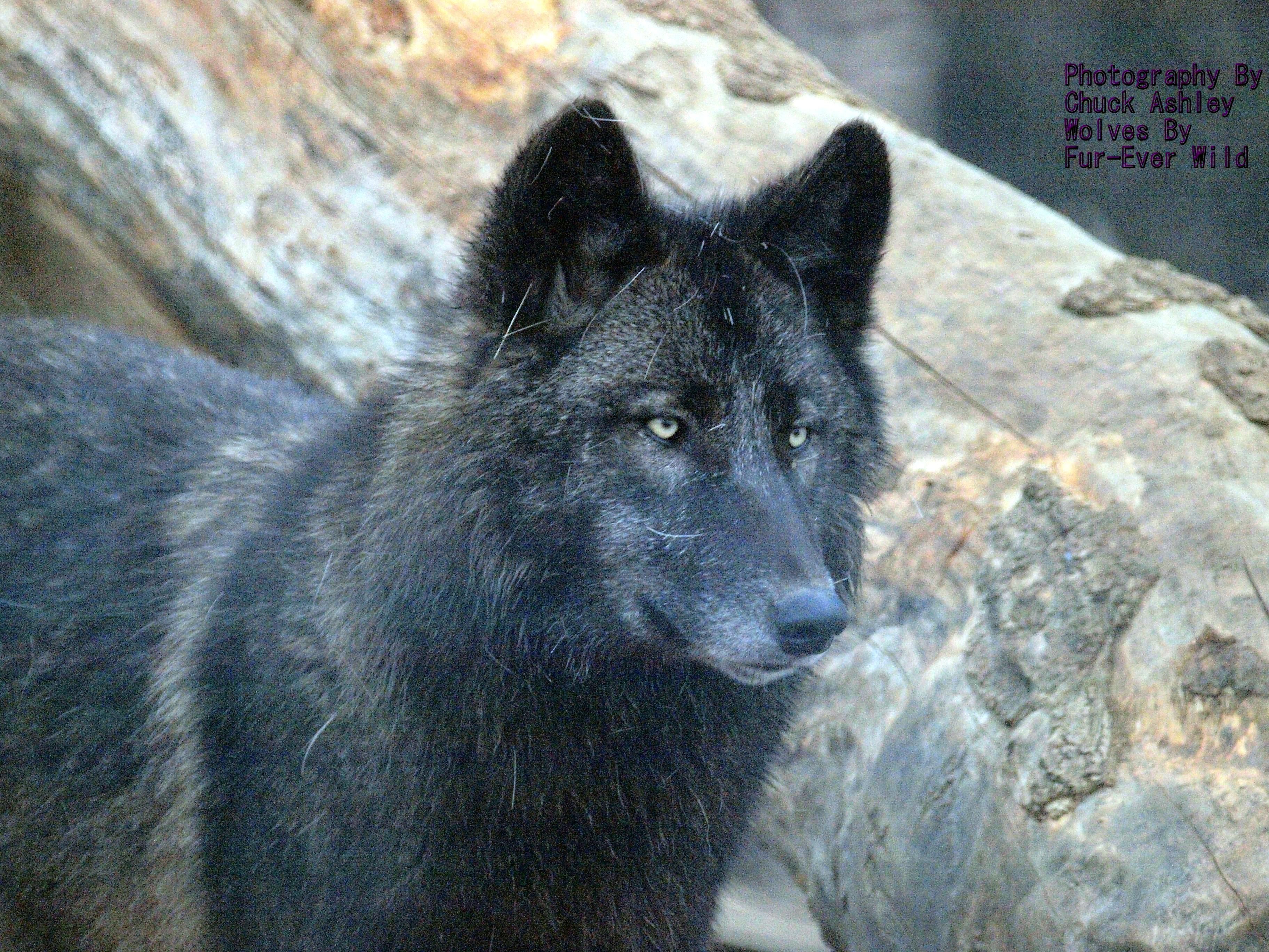 Black And White Wolf Hybrid