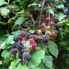blackberry, berry, red mulberry, plant, wine raspberry, fruit, boysenberry, dewberry, mulberry,