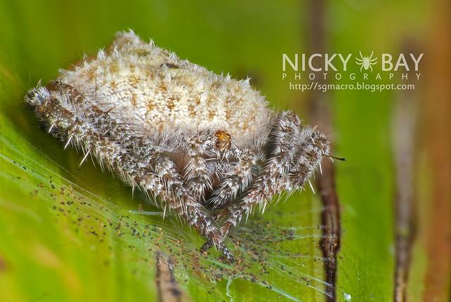 Orb Weaver Spider (Eriovixia sp.) - DSC_3172