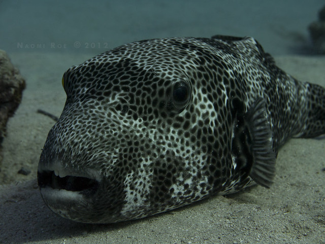 giant pufferfish giant puffer fish arothron stellatus