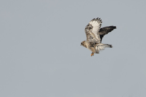 Rough-legged Hawk_40191.jpg