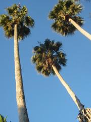 california_palm_trees75