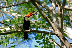 right toucan