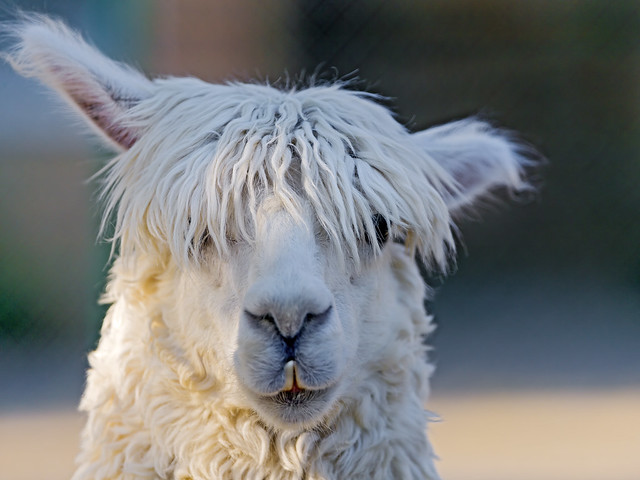 Cool And Funny White Llama Flickr Photo Sharing