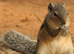 prairie dog(0.0), degu(0.0), gerbil(0.0), animal(1.0), squirrel(1.0), fox squirrel(1.0), rodent(1.0), fauna(1.0), chipmunk(1.0), whiskers(1.0), wildlife(1.0),
