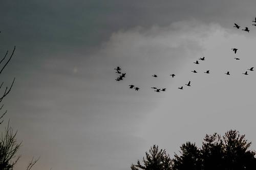 blackandwhite newyork bird nature beautiful birds silhouette sunrise flying geese pretty flock scenic upstate canadian zena woodstock ulster