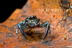 Jumping Spider (Thiania sp.) - DSC_7562