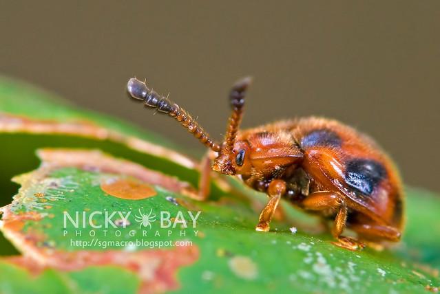 Ladybird-Mimic Beetle - DSC_7203