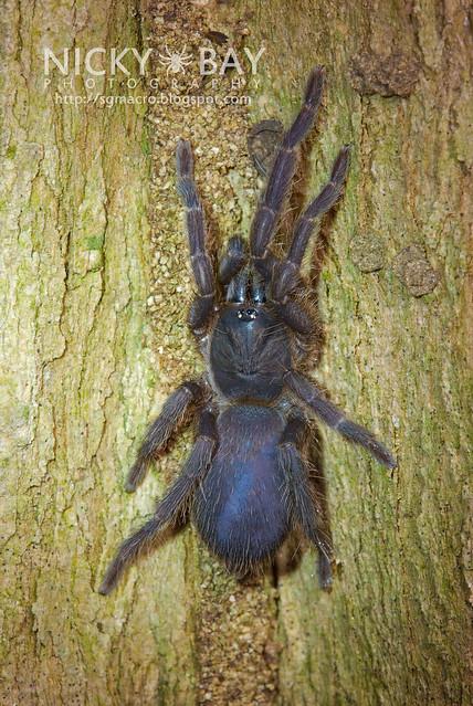 Tarantula (Theraphosidae) - DSC_8887