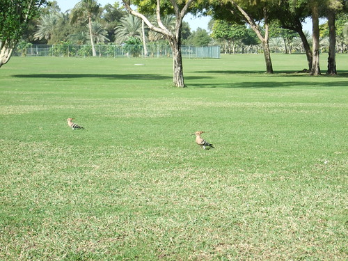 Hoopoe in Safa Park